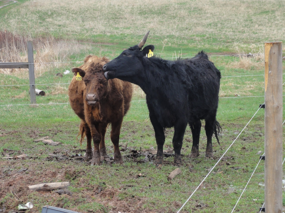two cows kissing